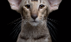 What do you think of Oriental Shorthairs?