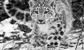 Do you love snow leopards?