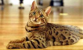whats your favorite cat breed